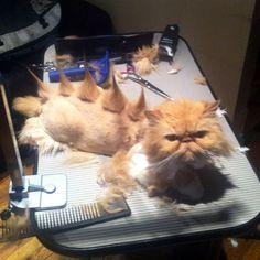 Punk Rock Kitty.. I should so do this to Sally!!! Hagaha