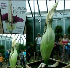 Stinky Corpse Flower Attracts Sniffing Fans