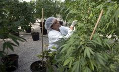 Medical marijuana states is still growing every year with New Jersey becoming the most recent state in legalizing the medicinal cannabis in 2010. Indeed medical marijuana program in RI has carried the cannabis industry to a whole new plane altogether.