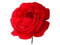 Rose Transparent Flower Background Images, Flower Backgrounds, Rose, Flowers, Plants, Beautiful, Pink, Roses, Flora