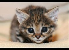 Baby Black-Footed kitten born at Brookfield Zoo.
