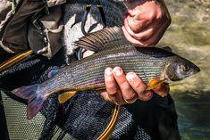 guided grayling fishing on lake como Fishing Guide, Best Fishing, Grayling Fish, Fishing Holidays, Northern Italy, Lake Como