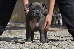 American Bully Puppies for sale from Kali and Mr.Suca - Amazing Pedigree - Excellent Temperament - Examined and Vaccinated by a Licensed Veterinarian American Bully Pocket, Pocket Bully, Puppies For Sale, Bullying, Dog Lovers, Pitbulls, Dogs, Cute, Animals
