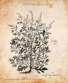 Mugwort (Artemisia vulgaris) from the Vienna Dioscorides, 500CE