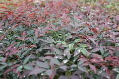 Nandina domestica 'MURASAKI' Flirt is the only dwarf ground cover Nandina that will give red new growth in spring, autumn and often in summer. Types Of Flowers, Types Of Plants, Bamboo Plants, Clay Soil, New Growth, Dwarf, Nurseries, Hedges, Evergreen
