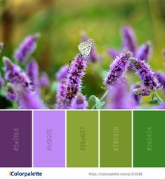 Color Palette Ideas from Purple Butterfly Lavender Image Purple Color Palettes, Green Color Schemes, Green Colors, Color Combinations, Find Color, Purple Butterfly, Lavender Color, Flower Images, Color Pallets