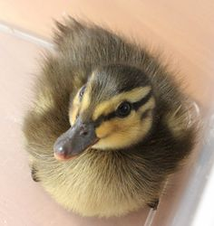 baby duck. This really makes me miss my pet ducks
