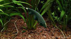 Duch amazoński jest niebywale efektowną rybą akwariową. Dorasta do dużych rozmiarów dlatego nalezy go hodować w akwarium z  gatunkami ryb które nie bedą mogły zostać zjedzone przez niego ze względu na swoje znaczące rozmiary.