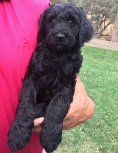 Markus--Kanyon's new goldendoodle puppy.
