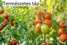 Home And Garden, Red Tomato, Garden Pests, Plants, Garden, Organic Gardening Pest Control, Tomato Garden, Tomato Seeds, Tomato