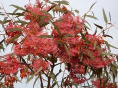 """Eucalyptus Torquata - """"Coral Gum"""" Small slow growing tree growing to 4m high Pink flowers in spring and summer Full sun Attracts honey & seed eating birds All soils including coastal Drought tolerant Origin: WA"""