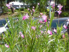 Andando com Formigas: Orquídea Bambu
