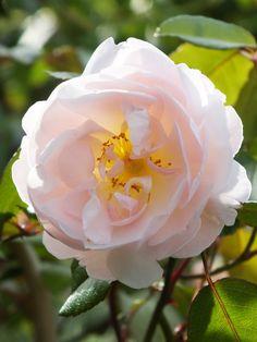 David Austin Rose, rambler rose 'Lady of the Lake.'