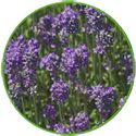 Lavenite Petite, one of the best lavenders for containers. #LavenderLover