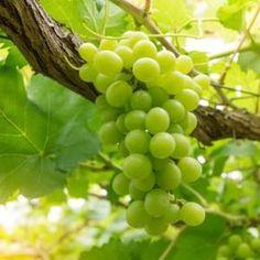 Les 25 meilleures id es de la cat gorie tailler la vigne sur pinterest taille de la vigne la - Quand tailler la vigne en treille ...