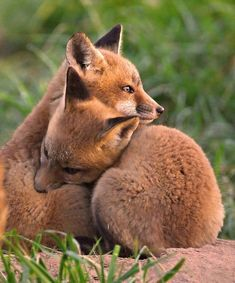 Fox Cubs Cuddle - by William Jobes. I don't wear fur because these beautiful creatures need their fur, we do not! Cute Baby Animals, Animals And Pets, Funny Animals, Wild Animals, Beautiful Creatures, Animals Beautiful, Fuchs Baby, Animal Hugs, Cute Fox