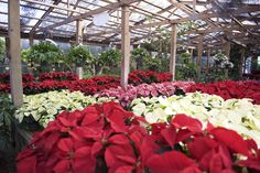 Rows of color! #color #poinsettias #holidays #plants