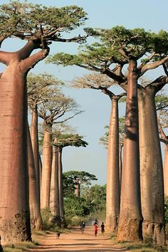Baobab Alley, Madagascar From New Wonderful Photos via Muhammad Moazzam Amazing Pictures of the world