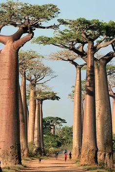 Baobab Alley, Madagascar From New Wonderful Photos via Muhammad Moazzam Amazing Pictures of the world