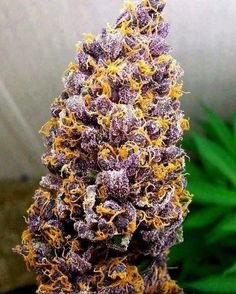 Beautiful bud shot #marijuana #budshots http://budposters.com/