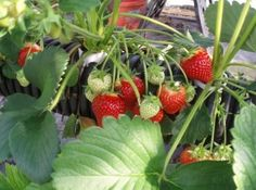 """The Best Plants For Aquaponics- Fish are what sets aquaponics apart from other gardening forms but it's the plants that provide most of the food. People always ask, """"what are the best plants for aquaponics?"""""""