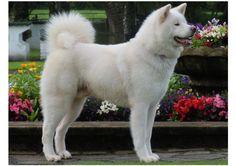 White Japanese Akita Dog