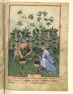Nouvelle acquisition latine 1673, fol. 44, Récolte des fèvess. Tacuinum sanitatis, Milano or Pavie (Italy), 1390-1400.
