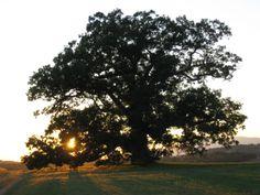 Mighty Oak Tree | oak-tree-oak-ridge-016