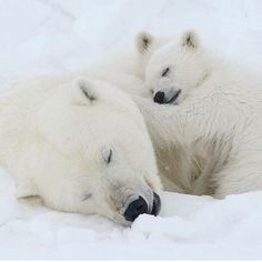 Photograph by A female polar bear and her cubs take a well deserved snooze after devouring a bearded seal. Please go to to find them awake. Cute Creatures, Beautiful Creatures, Animals Beautiful, Animals And Pets, Baby Animals, Cute Animals, Cute Polar Bear, Polar Bears, Sleepy