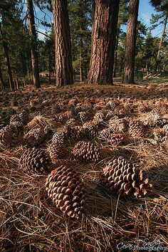 """Central Oregon, ponderosa pine ♡ """"Okay - so this picture is a low-shot in that it's not """"so green"""" but it is of trees, so you get the drift. Los Padres National Forest, Rocky Mountain National, Guilin, Forest Floor, Out Of Focus, Central Oregon, Forest Park, Seed Pods, Belleza Natural"""