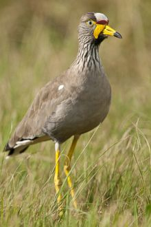 African Wattled Lapwing, spotted on the Johannesburg West BirdLife SA Birding Route