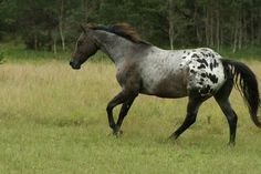 Blue roan Appaloosa with blanket pattern- FAVORITE- (EXACTLY WHAT LOVELACE IS TO LOOK LIKE- now just to find a cute little baby with a good personality as well.)