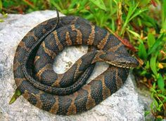 Iowa Northern Water Snake