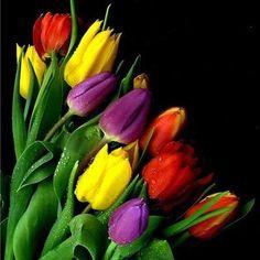 Tulpen Blumen