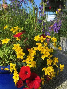 Summer flowers - Biedens -  in my garden Margeritten 8-8-15 by Inger Johanne