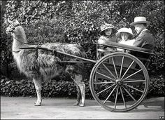 The images, including this llama-powered carriage ride in 1920, were unearthed and restored by workers at the Zoological Society of London.