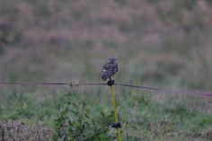 Steenuil, Little owl, La Chevêche d'Athéna