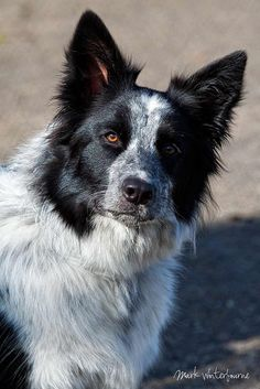 The Border Collie is a herding dog breed developed in the Anglo-Scottish border region for herding livestock, especially sheep. It is the most widespread of the collie breeds.[citation needed]    Typically extremely energetic, acrobatic, and athletic,