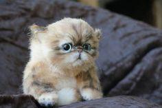Persian kitten Exotics By Tsybina Natali - Bear Pile