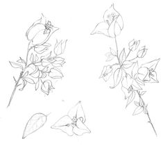 Image result for bougainvillea outline