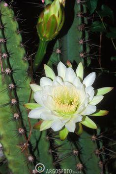 Flor de mandacaru Flowering Succulents, Cacti And Succulents, Planting Succulents, Cactus Plants, Flower Garden Pictures, Cactus Pictures, Orchid Cactus, Cactus Flower, Beautiful Flowers Garden