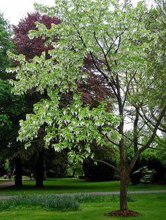 Dove tree [Davidia involucrata] by abudulla.saheem - off and away, via Flickr