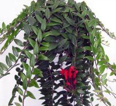 Este género comprende más de 100 especies epífitas y subarbustos, procedentes de Java, sudeste de Asia (Borneo ), desdela IndiaeHimalayahasta Nueva Guinea.