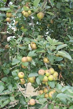 Russetts - a great crunchy eating apple