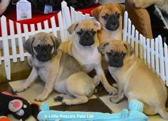 Stunning 3/4 Pug babies - Designer and Cross Breed Puppies For Sale