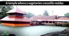Ever heard of vegetarian crocodiles? The reptile in question goes by the name of Babiya and is a guardian of the Ananthapura Lake Temple. This place of worship can only be reached through a bridge and dates back to the 9th century. It is located right in the middle of the lake in the Kasargod District of Kerala.