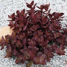Sunsparkler® Sedum 'Cherry Tart' zone 4-9, full to part sun.