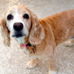 Stella - English Cocker Spaniel mix - 9 yrs old - Poodle and Pooch Rescue - Orlando, FL. - http://www.poodleandpoochrescue.org/adoptable_dogs - https://www.facebook.com/PoodleandPoochRescueofFlorida - https://www.petfinder.com/petdetail/31211398/