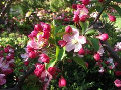 Branches of apple blossoms displayed in large clear glass cylinders would be dramatic wedding decor. National Weddings Examiner