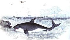Antique print of a happy-looking killer whale
